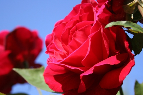 IMG_4439 red rose and blue sky